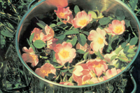 Photo of flower essence being prepared by Boiling Method