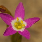 Centaury flower image for Heal with flowers