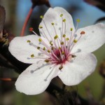 Cherry Plum image for heal with flowers