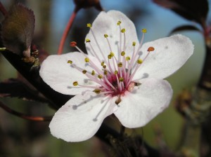 Image of Cherry Plum for Heal With Flowers website