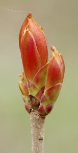 Image of Chestnut Bud for Heal With Flowers website