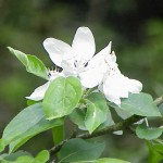 Crab Apple flower image for Heal with flowers