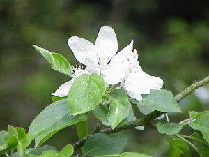 Image of Crab Apple flower for Heal With Flowers website