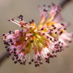 Elm flower image for Heal with flowers