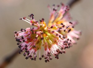 English Elm flower image for heal with flowers