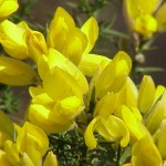 Gorse flower image for Heal with flowers