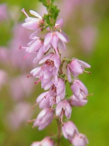 Image of Heather flower for Heal With Flowers website