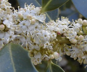 Image of Holly flower for Heal With Flowers website