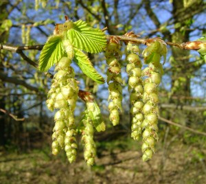 Image of Hornbeam flowers for Heal With Flowers website
