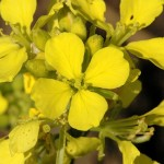 Mustard flower image for Heal with flowers