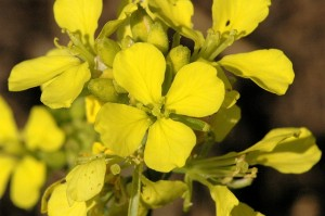 Image of Mustard flowers for Heal With Flowers website
