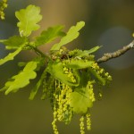 Stieleiche oak flower image for Heal with flowers