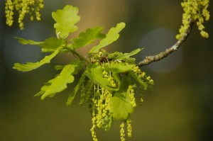 Image of Oak tree flower for Heal With Flowers website