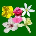 Rescue Remedy flower image for Heal with flowers