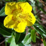 Rock Rose flower image for Heal with flowers