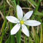 Star Of Bethlehem flower image for Heal with flowers