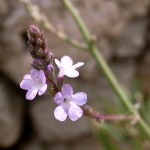 Vervain flower image for Heal with flowers