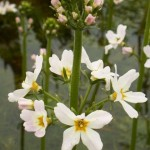 Water Violet flower image for Heal with flowers