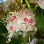 White Chestnut flower image for Heal with flowers