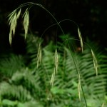 Wild Oat flower image for Heal with flowers