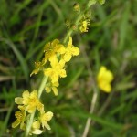 Agrimony flower image for Heal with flowers